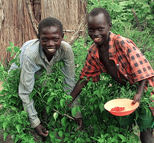 Collecting chilli peppers, Southern Sudan