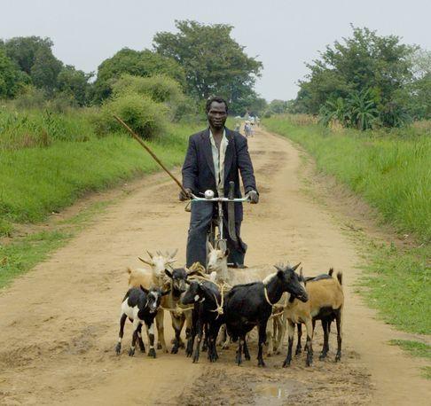 Shepherd on a bicycle, Southern Sudan